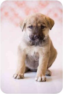 German Shepherd Dog Mix Puppy for adoption in Portland, Oregon - Janis