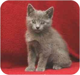 Russian Blue Kitten for adoption in Taylor Mill, Kentucky - Ana