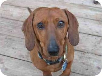 Dachshund Dog for adoption in Killingworth, Connecticut - Oscar