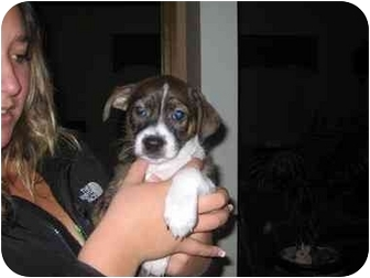 Labrador Retriever/Boxer Mix Puppy for adoption in Naperville, Illinois - Baxter