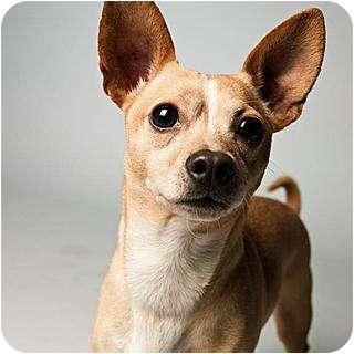 Chihuahua Mix Dog for adoption in Santa Barbara, California - Pi
