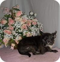 Chihuahua Dog for adoption in Chandlersville, Ohio - Butter Ball