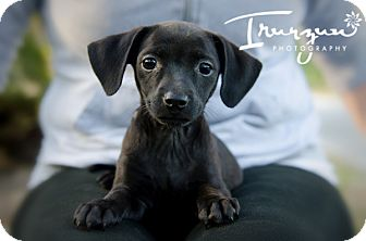 Chihuahua/Dachshund Mix Puppy for adoption in Palm Harbor, Florida - Jules