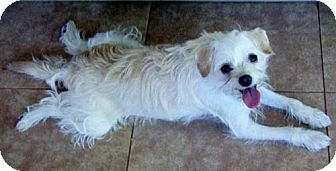 Cairn Terrier/Terrier (Unknown Type, Small) Mix Puppy for adoption in Mission Viejo, California - ELLA