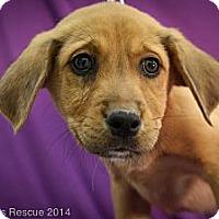 Adopt A Pet :: Lorax - Broomfield, CO