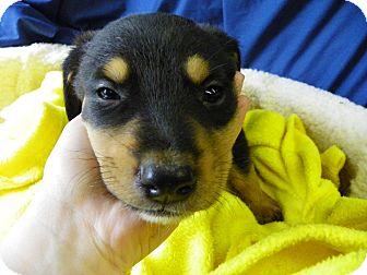 Rottweiler Mix Puppy for adoption in Waldorf, Maryland - Jazzy
