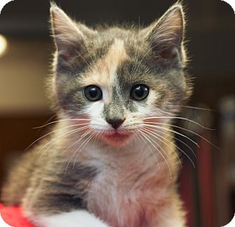 Domestic Shorthair Kitten for adoption in Anderson, Indiana - Butters