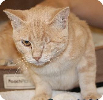 Domestic Shorthair Cat for adoption in Savannah, Missouri - Tink