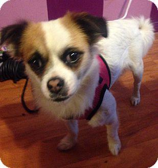 Papillon/Pug Mix Dog for adoption in Rancho Cucamonga, California - Bella