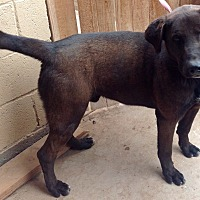 Mastiff/Labrador Retriever Mix Dog for adoption in Phoenix, Arizona - Midnight