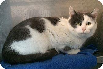 Domestic Mediumhair Cat for adoption in Loogootee, Indiana - Bailey