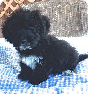 Havanese Puppy for adoption in Carlsbad, California - WYATT