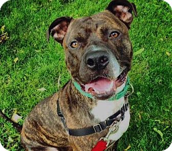 Mastiff/American Staffordshire Terrier Mix Dog for adoption in Oak Park, Illinois - Mufassa