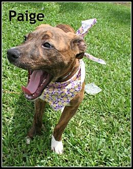 Labrador Retriever Mix Dog for adoption in Houston, Texas - Paige