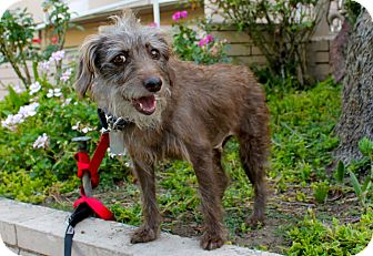 Poodle (Miniature) Mix Dog for adoption in Los Angeles, California - Darla
