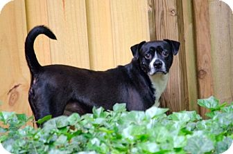 Boston Terrier/Beagle Mix Dog for adoption in North Augusta, South Carolina - MANNY