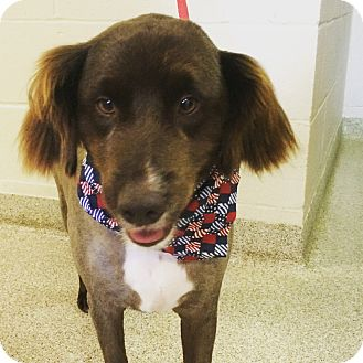 Australian Shepherd Mix Dog for adoption in Troy, Ohio - Gus