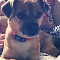 Adopt A Pet :: Dolce - Raritan, NJ