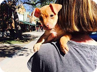 Terrier (Unknown Type, Small)/Dachshund Mix Puppy for adoption in Pleasanton, California - Beckham- Adoption pending