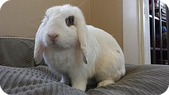 Lop-Eared Mix for adoption in Cranston, Rhode Island - HAROLD D RABBIT