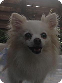 Pomeranian Dog for adoption in Lodi, California - Claire