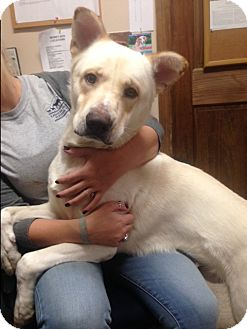 Labrador Retriever/Shepherd (Unknown Type) Mix Dog for adoption in Cashiers, North Carolina - Champ