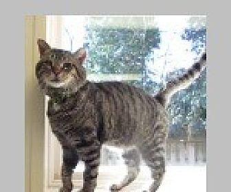 Domestic Shorthair Cat for adoption in Pittsboro, North Carolina - Mac and Cheeks