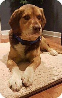 Labrador Retriever Mix Dog for adoption in WESTMINSTER, Maryland - Lenny