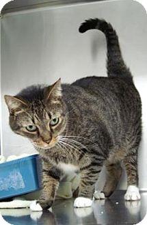 American Shorthair Cat for adoption in Englewood, Florida - Daytona