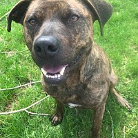 American Staffordshire Terrier Mix Dog for adoption in Livonia, Michigan - Ray