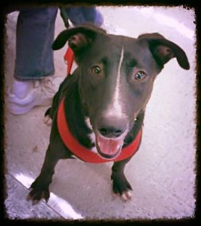 Labrador Retriever/Retriever (Unknown Type) Mix Dog for adoption in Silver Lake, Wisconsin - Cosmo
