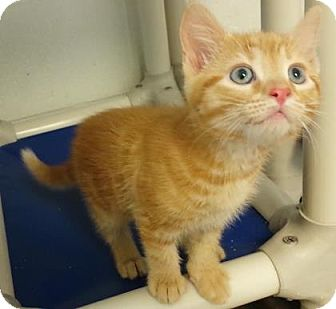Domestic Shorthair Kitten for adoption in Hendersonville, North Carolina - Darjeeling