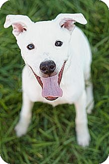 Labrador Retriever/Jack Russell Terrier Mix Puppy for adoption in Hagerstown, Maryland - Freckles (Reduced Fee)