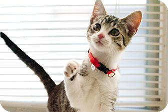 Domestic Shorthair Cat for adoption in Huntsville, Alabama - Bennigan