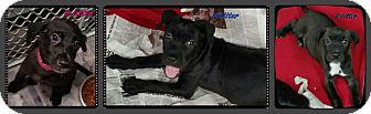 Labrador Retriever/Pit Bull Terrier Mix Puppy for adoption in Ahoskie, North Carolina - S-litter