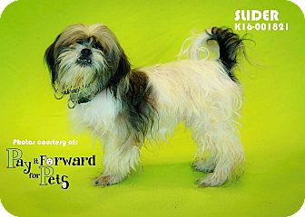 Shih Tzu Mix Dog for adoption in Seville, Ohio - Slider