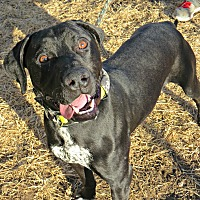 German Shorthaired Pointer/Pit Bull Terrier Mix Dog for adoption in tama, Iowa - Mack