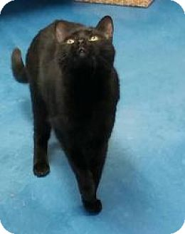 Domestic Longhair Cat for adoption in Pompton Plains, New Jersey - Ebony