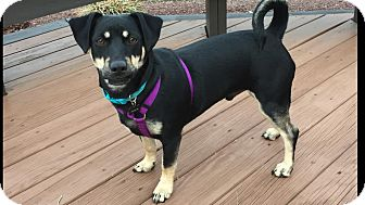 Dachshund/Miniature Pinscher Mix Dog for adoption in New Oxford, Pennsylvania - Hunter Boy