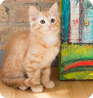 Domestic Mediumhair Kitten for adoption in Chicago, Illinois - Rory