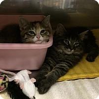 Adopt A Pet :: Butterscotch - Byron Center, MI