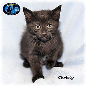 Domestic Mediumhair Kitten for adoption in Howell, Michigan - Christy