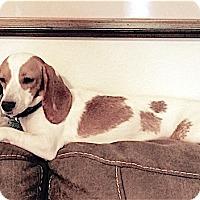Adopt A Pet :: Pixie - Houston, TX