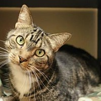 Domestic Shorthair Cat for adoption in Phoenix, Arizona - Max