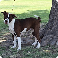 Shepherd (Unknown Type) Mix Dog for adoption in Odessa, Texas - A09 Alex
