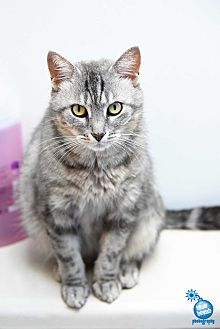 Domestic Shorthair Cat for adoption in Baltimore, Maryland - Lilac