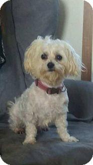 Poodle (Miniature)/Maltese Mix Dog for adoption in Mandeville, Louisiana - Sheba