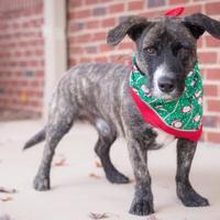 Adopt A Pet :: DeVito - Madison, GA