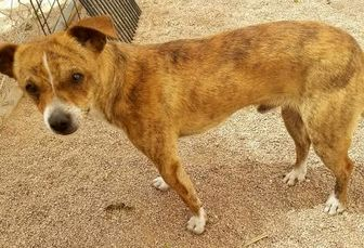 Chihuahua Mix Dog for adoption in Nogales, Arizona - Levi