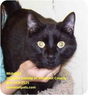 Domestic Longhair Cat for adoption in Somerset, Pennsylvania - Midnight